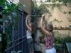 Äntligen fick jag hjälp att binda upp mimosaträdet...