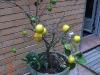 Detta citronträd har farit mycket illa av två flyttar.