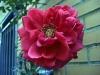 Klätterrosen på väggen har börjat blomma.