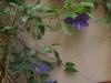 Clematisen blommar på bortersta väggen.