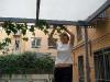 Karin binder upp murgrönan mot taket.