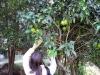 Vi hittar ett grapefruktträd.
