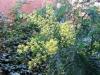 Mimosan blommar vackert i min lilla trädgård.