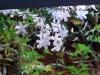 Doftjasminen har börjat blomma runt taket.
