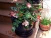 En miniatyrros blommar vackert i sin kruka, krukan nedanför är kattgräs.