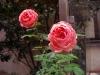 De sista blommande rosorna i trädgården? 13 november.