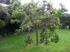 Ett av plommonträden fullkomligt dignar av frukt.