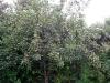 Det största päronträden är också fullt med frukt.