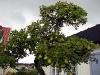 Detta gamla päronträd borde egentligen inte leva eftersom stammen är helt ihålig, ändå bär det frukt!