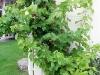 Denna relativt nyplanterade vinstock mot gäststugans vägg växer också ohejdat, måste försöka binda upp den på något sätt...
