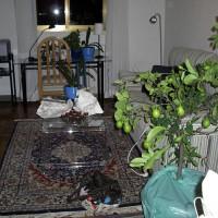 Citronträdet på plats, bars upp av den kvinnliga portvakten.