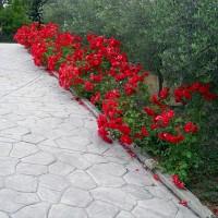 Står på platsen där maken dog och fotar den fantastiska rosenrabatten.